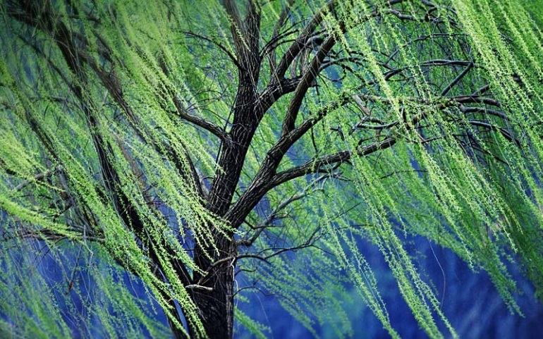A-weeping-willow-tree-20151029